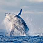 Empresa islandesa anuncia cerveja com composto de baleia