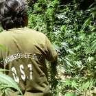 Carabineros detectan plantaciones de marihuana en Talca