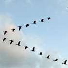 ¿Las aves sufren turbulencias como los aviones?