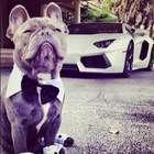 Perros millonarios: la vida lujosa de estas mascotas