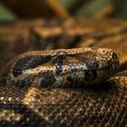 Hombre abre serpiente gigante y no creerás lo que encontró