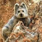 Conoce al conejo Ili Pika, especie en peligro de extinción