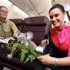 Coalas são tratados como estrela 'durante voo' para a Ásia