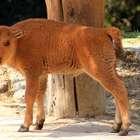 Cría de bisonte americano nace en Chapultepec