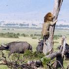 Rei da floresta? Leão escala árvore para fugir de búfalos