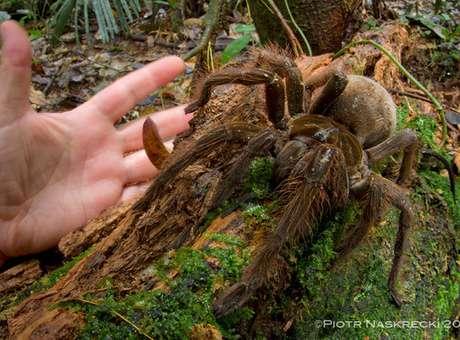 Cientista acha aranha de 30 cm durante passeio em floresta