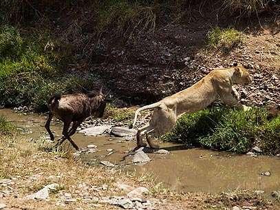 De surpresa, o gnu passa a atacar a leoa, que se assusta e tenta fugir. Foto: BBC Brasil