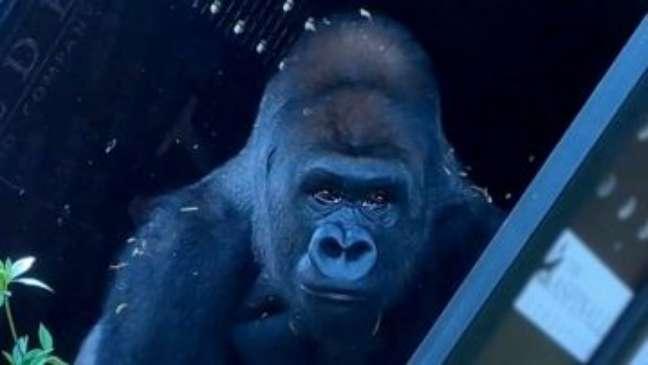 Gorila criado em zoológico conhece a vida na natureza após 13 anos