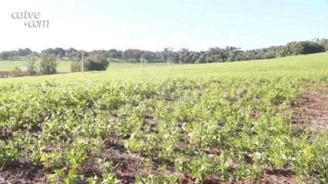 Estiagem pode causar quebra de 25% na produção de feijão