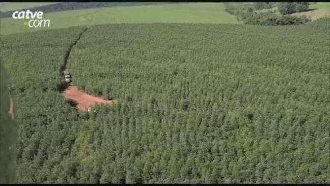Depósito de cigarros paraguaios é estourado em meio a mata de eucaliptos em Iporã
