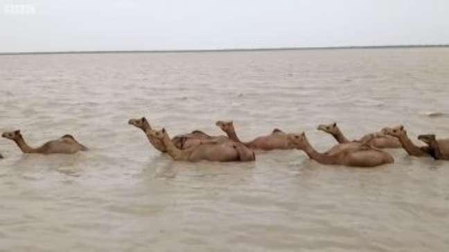 Por que os raros camelos nadadores da Índia estão ameaçados de extinção