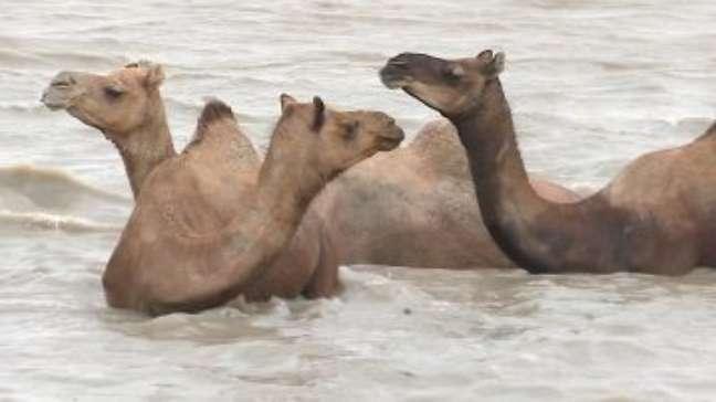 Os raros camelos nadadores ameaçados pela indústria de sal da Índia